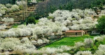 Cerezos en el Valle del Jerte