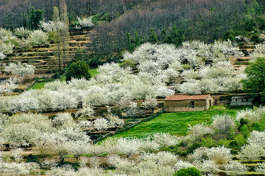 La evoluci n de los cerezos en flor podr ser consultada for Oficina de turismo valle del jerte