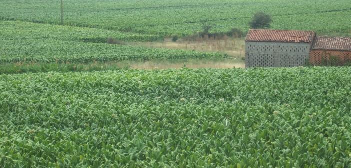 plantación de tabaco